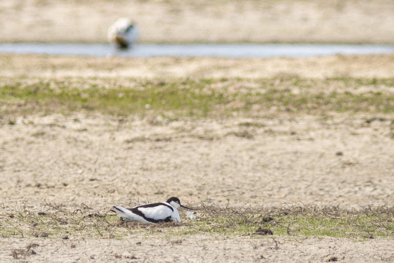 broedende kluut (Recurvirostra avosetta)