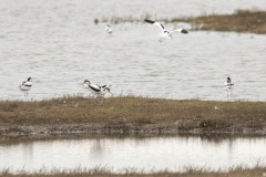 Kluten (Recurvirostra avosetta)
