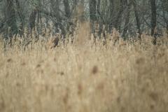 bruine kiekendief (Circus aeruginosus) vrouw op haar vaste plekje