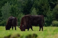 Wisent of Europese bison (Bison bonasus) - Białowieża, Polen