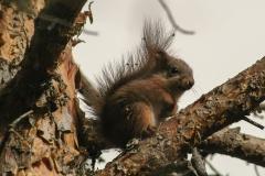 Eekhoorn (Sciurus vulgaris) - Hällingsåfallet, Zweden