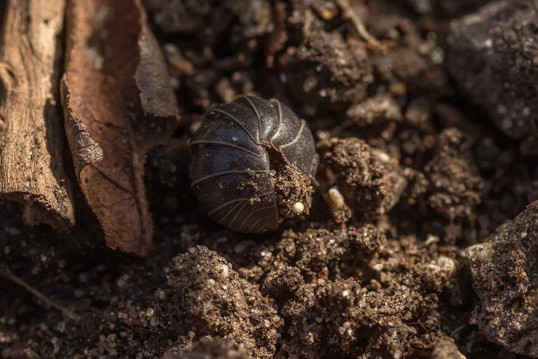 gewone oprolpissebed (Armadillidium vulgare)