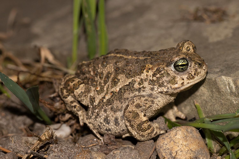 ooit gezien hoe mooie ogen een rugstreeppad heeft?