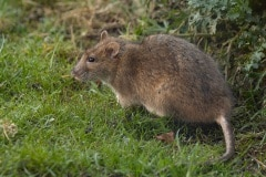 bruine rat (Rattus norvegicus)