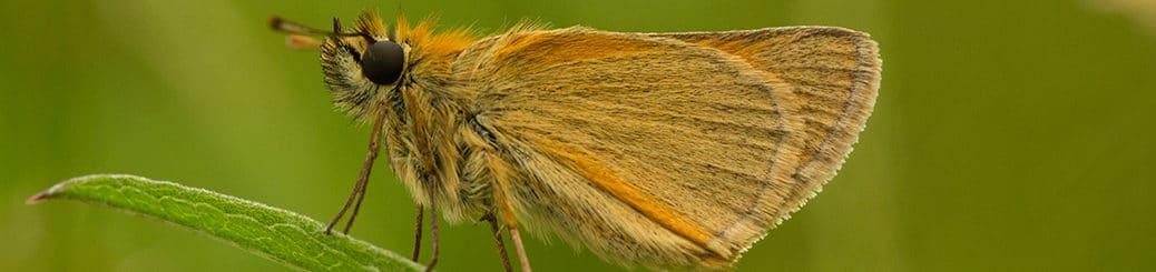 Geelsprietdikkopje (Thymelicus sylvestris)