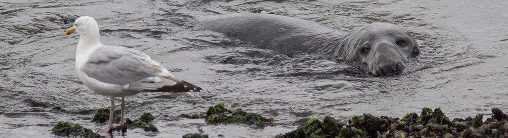zeehond bij Brouwersdam
