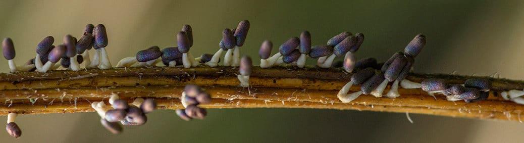 Witpootglinsterkopje (Diachea leucopodia)