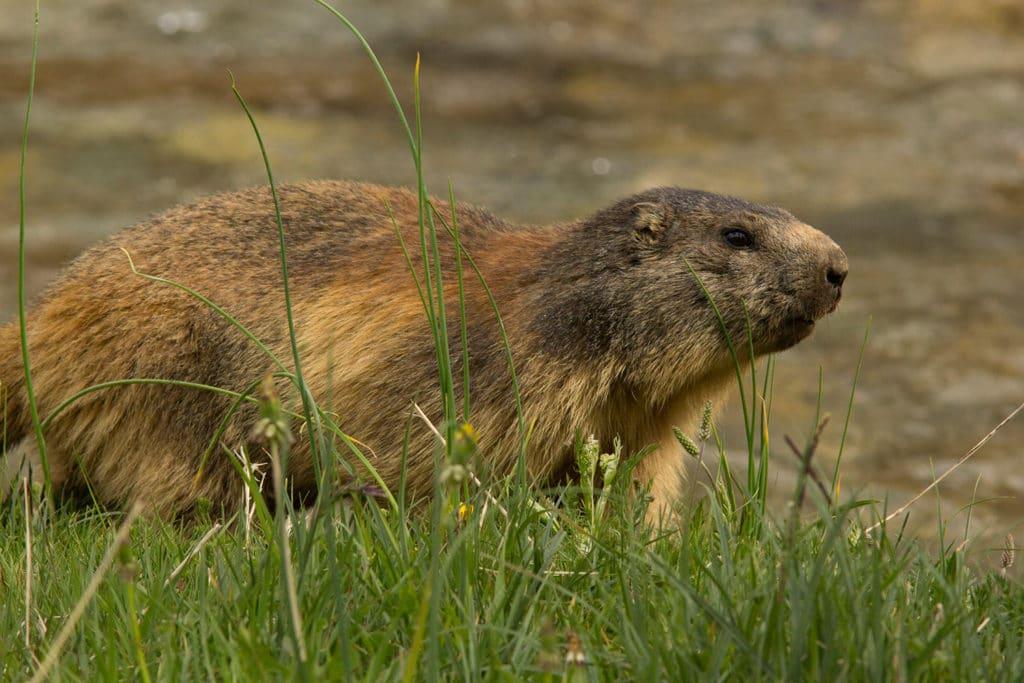 alpenmarmot (Marmota marmota)