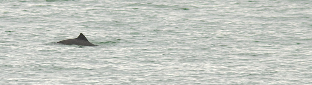 Bruinvis Zierikzee